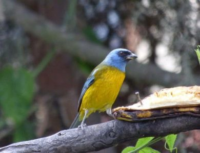 Tanagers, Scrub and Blue and Yellow