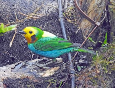 Multicolored Tanager, one of the star birds you can see close to the lodge