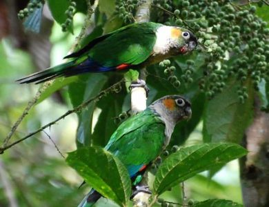 Copalinga - white-breasted-parakeet