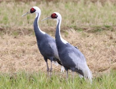 Arasaki Crane Centre white-naped-cranes